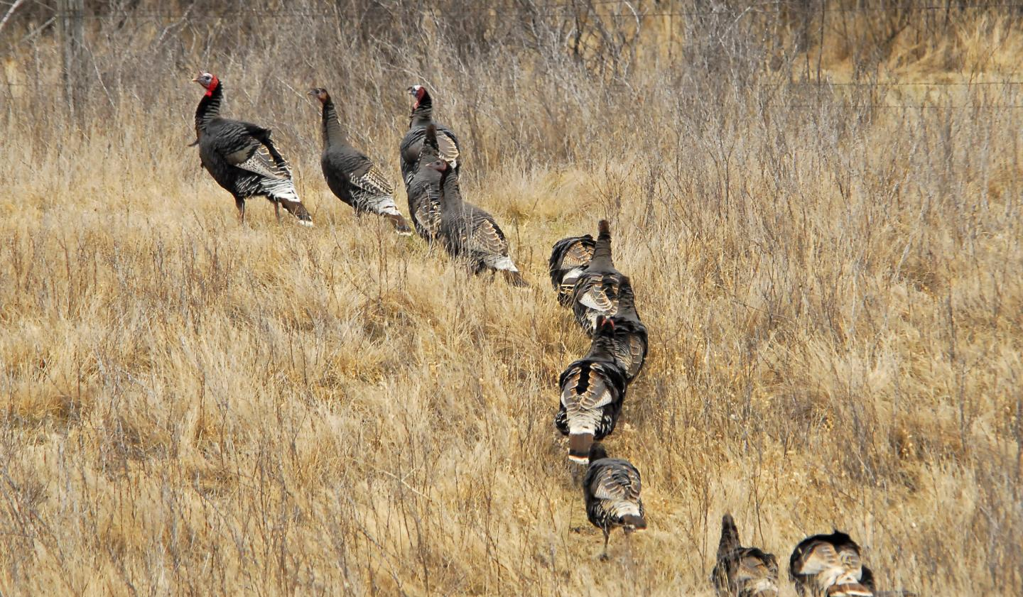 Merriam's wild turkeys