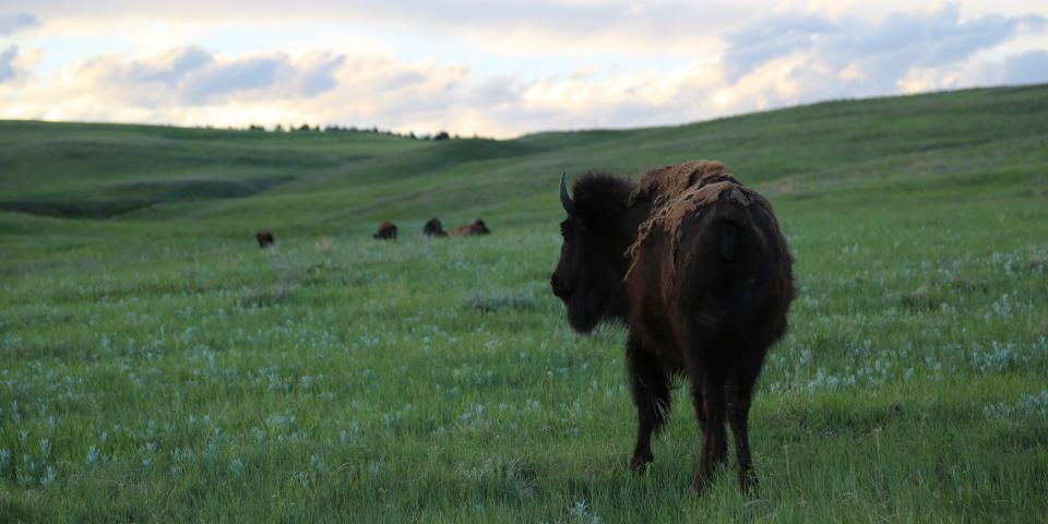 We drove through Custer State Park and there were buffalo all over the place.