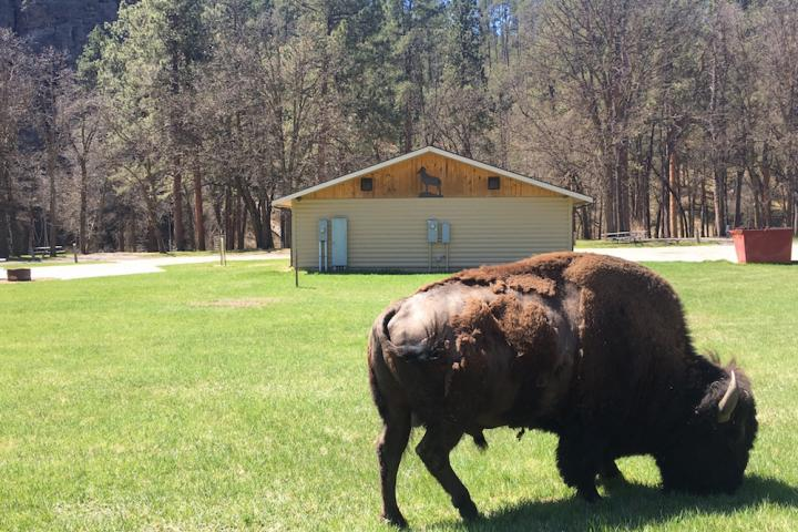 Buffalo, Custer State Park
