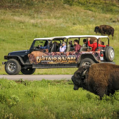 Buffalo Safari Jeep Tour, Custer State Park