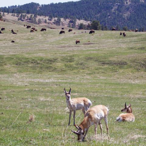Wildlife Loop, Custer State Park
